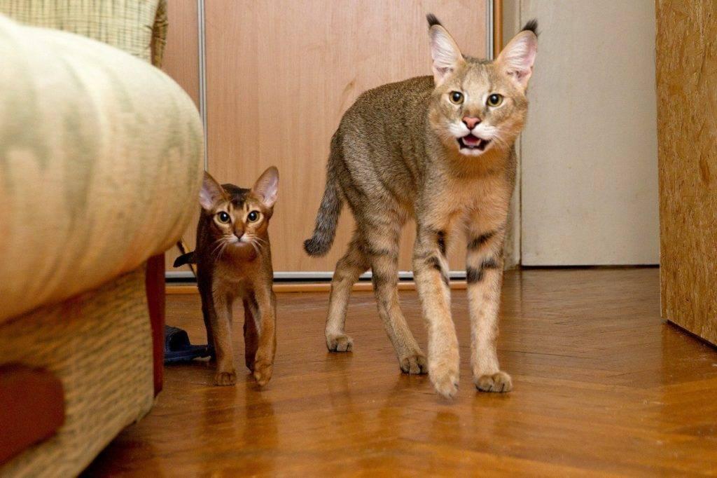 домашние камышовые кошки