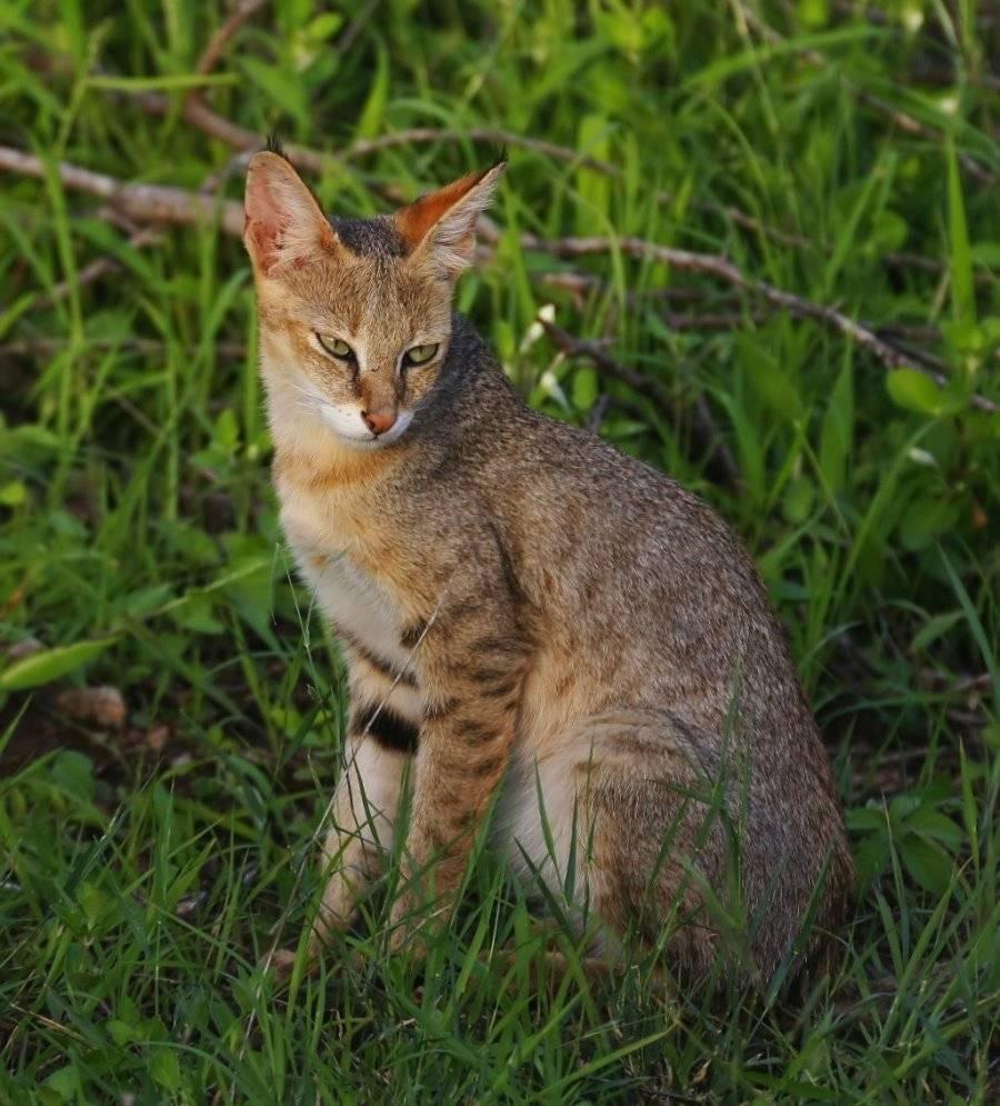 камышовый кот в полный рост
