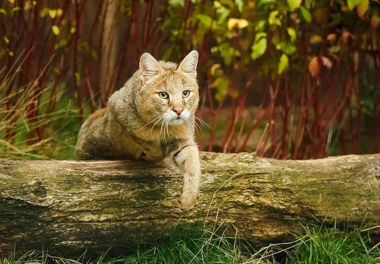 камышовый кот перелезает через бревно
