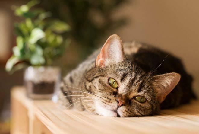 кошка с температурой