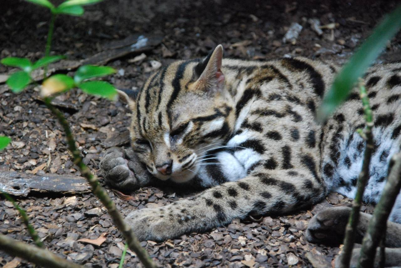 Порода кошек с леопардовым окрасом