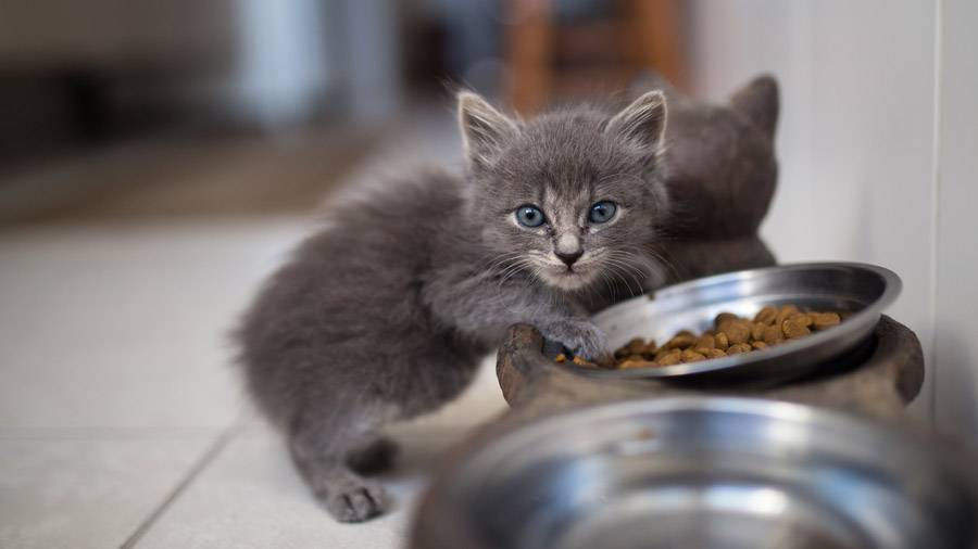 Чем кормить месячного котенка — Кот Обормот