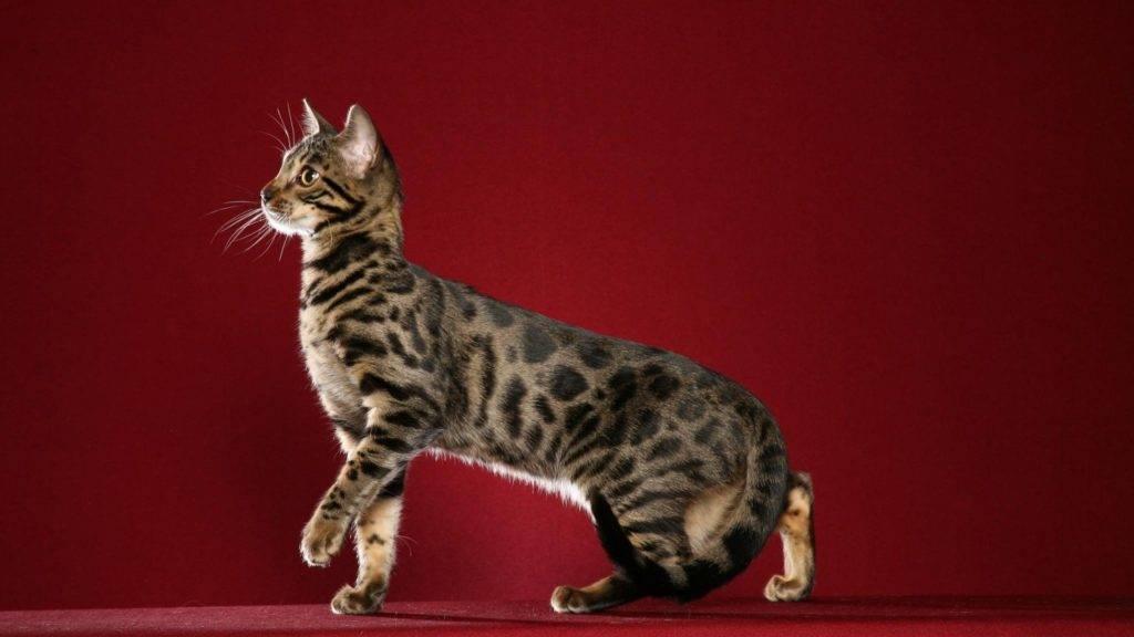 Коты леопарды порода