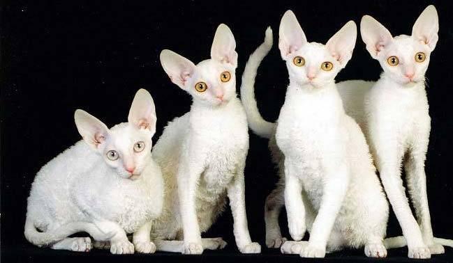 кошки корниш рекс