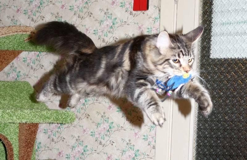 кошка с игрушкой в зубах