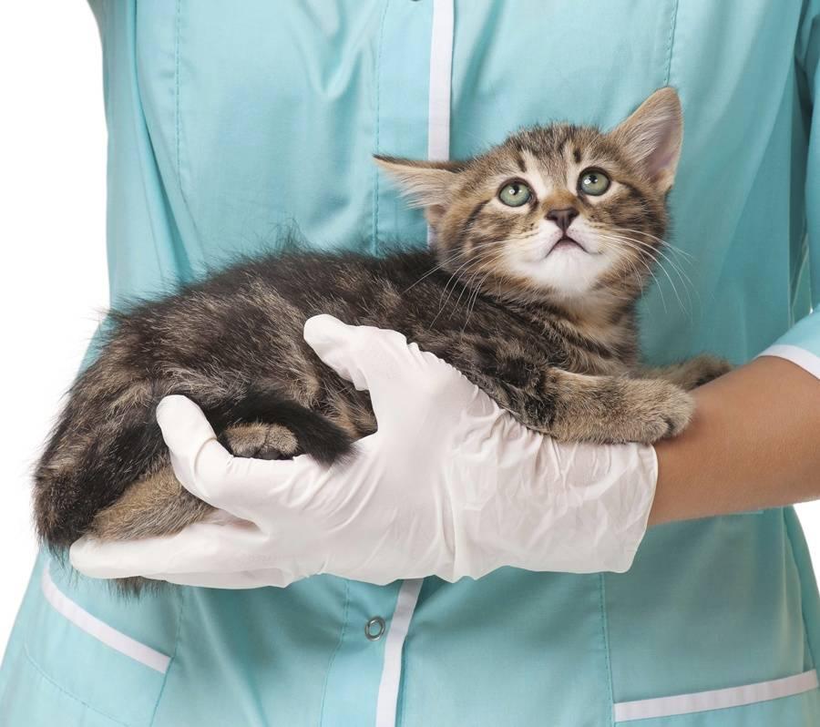 кошка у ветеринара на руках