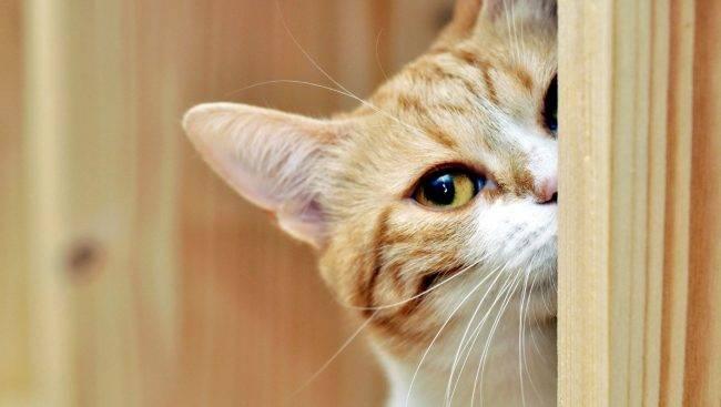 кошка выглядывает из-за угла