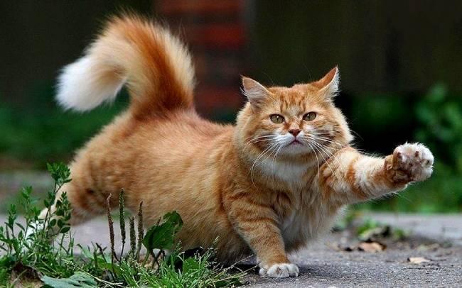 Осложнения и последствия после кастрации кота