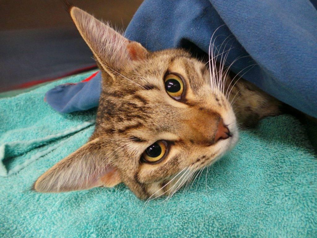 кот под пеленкой