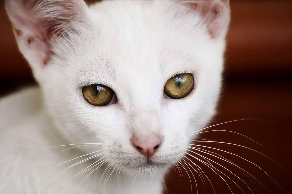 красивая белая кошка