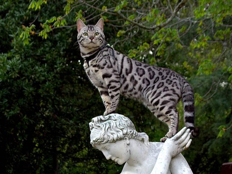 Кошка Ашера: фото и видео, красивая порода кошек Ашера