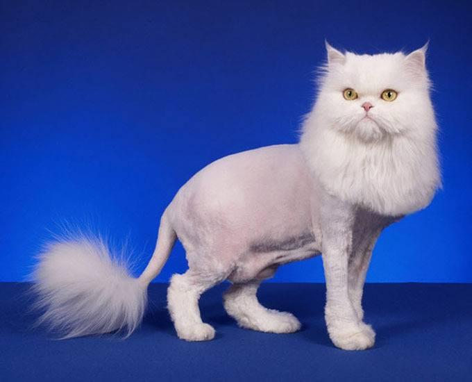 стриженный кот