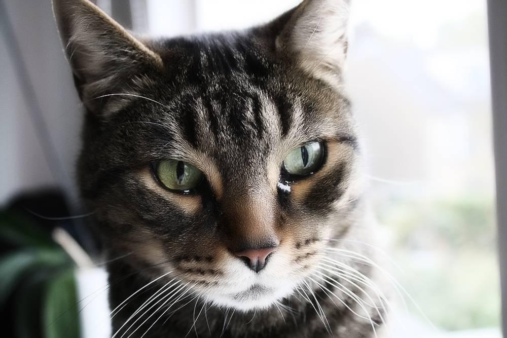 У кошки слезятся глаза: почему и что делать в домашних условиях?