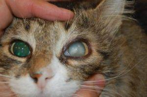 Инфекция глаз у кошек симптомы и лечение