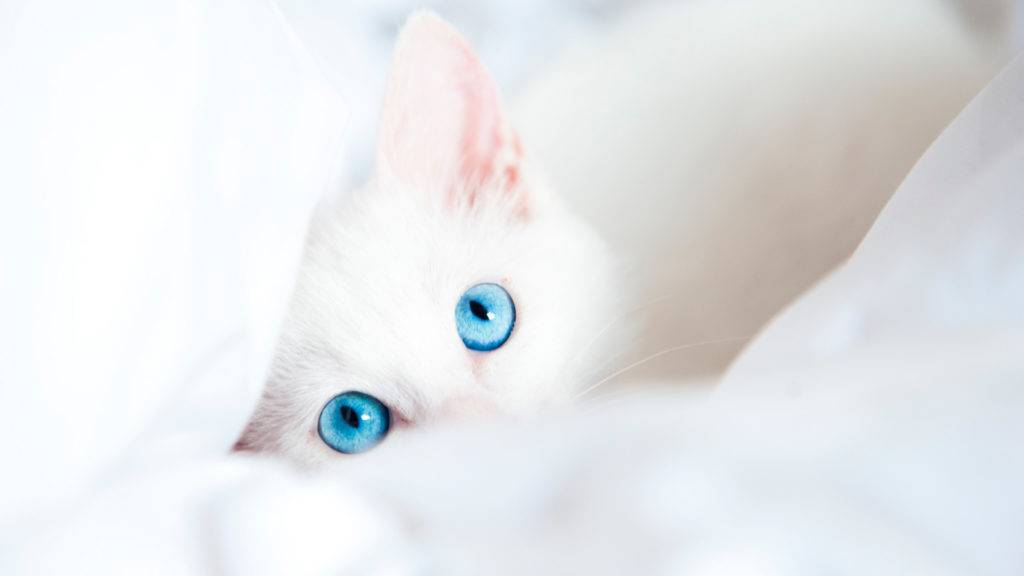 котенок белого цвета