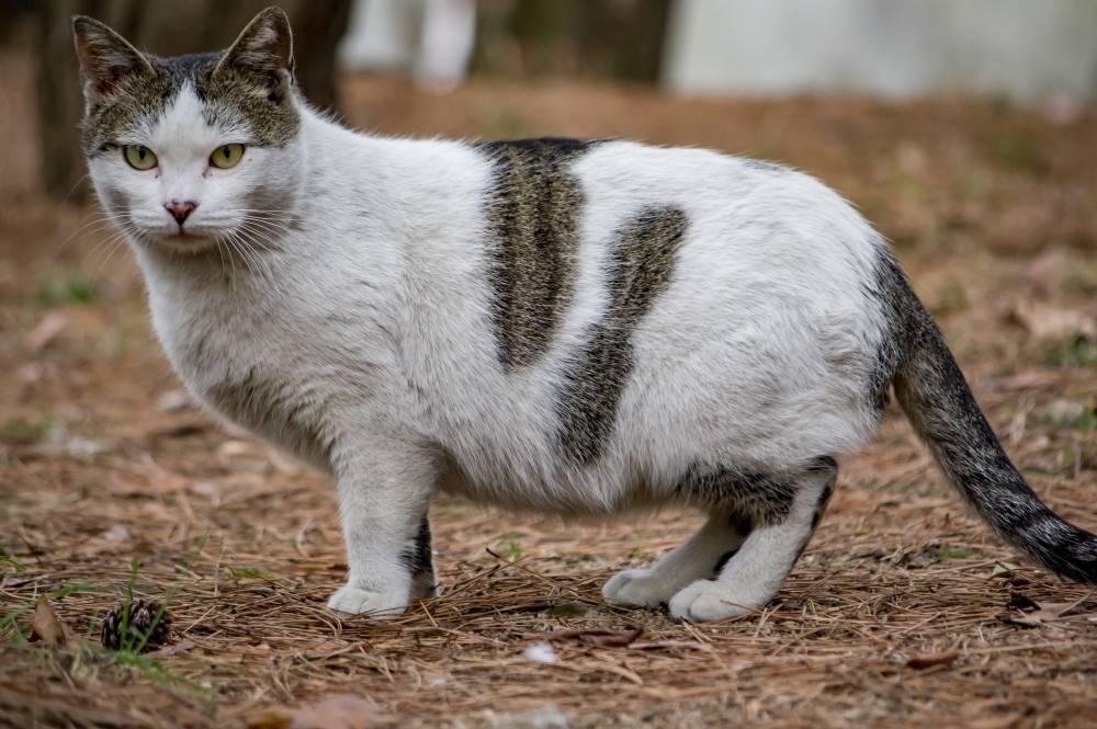 Сколько длится беременность у кошки