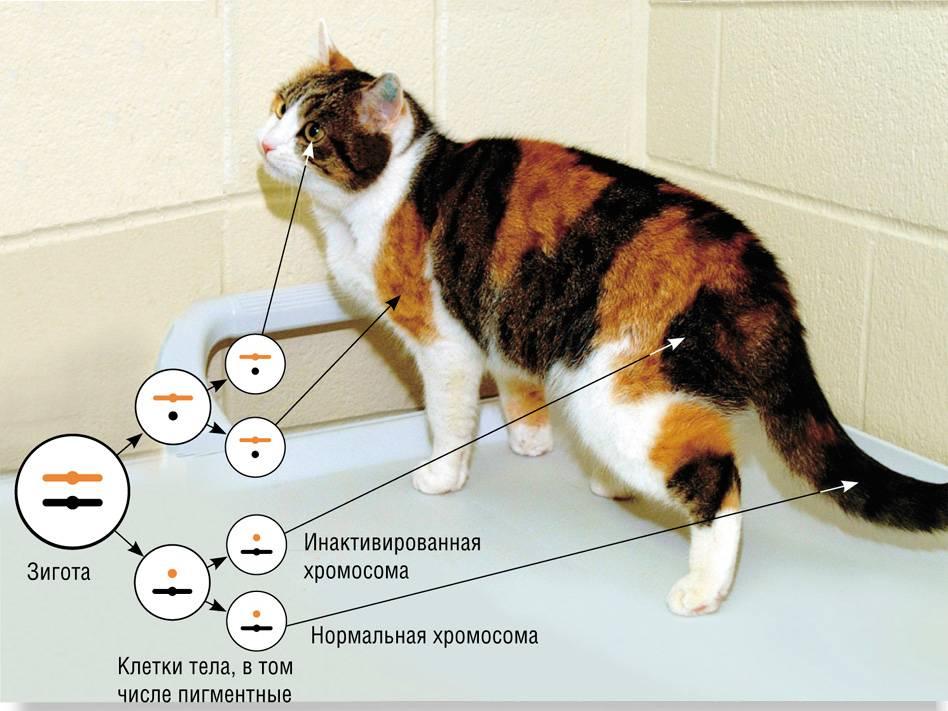 хромосомы кошки черепахового окраса
