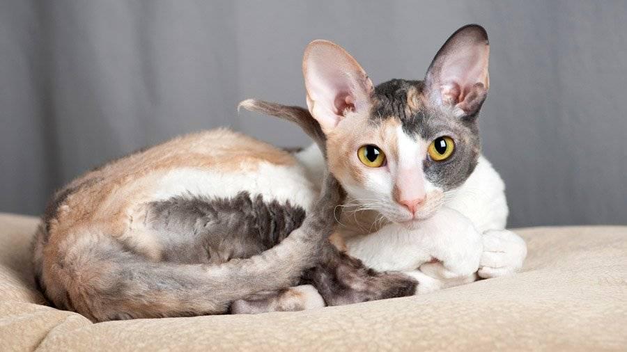 Короткошерстные кошки, породы кошек с короткой шерстью