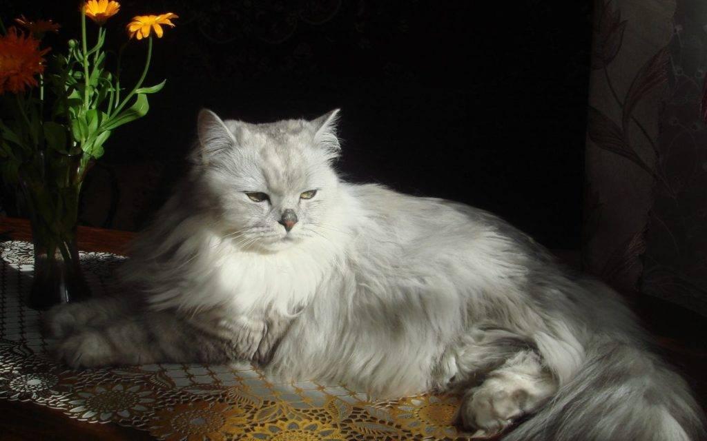 кошка аристократка