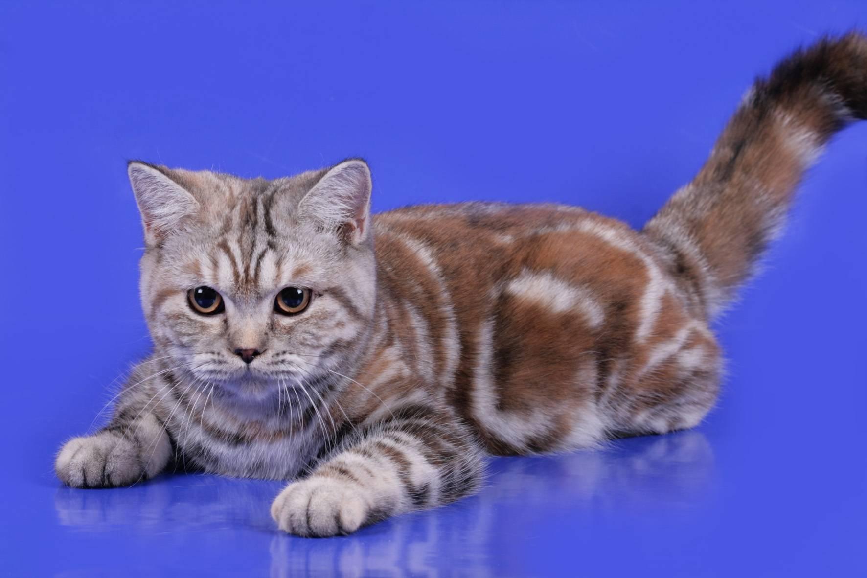 Трехцветные или черепаховые кошки