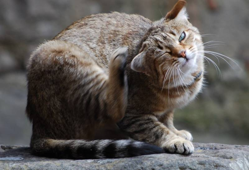 Из-за чего появляются болячки на морде у кота?