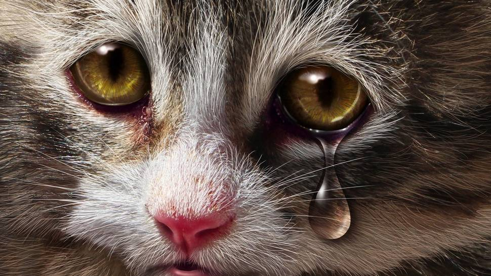 Умеют ли домашние кошки плакать как люди