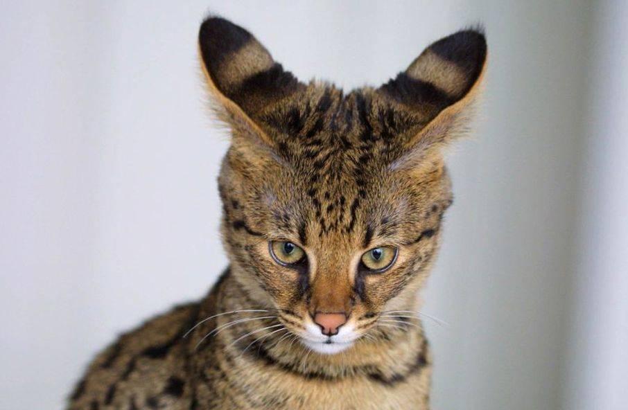 Как понять язык кошек: по хвосту, глазам и жестам