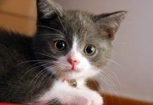 кошка с розовым носиком
