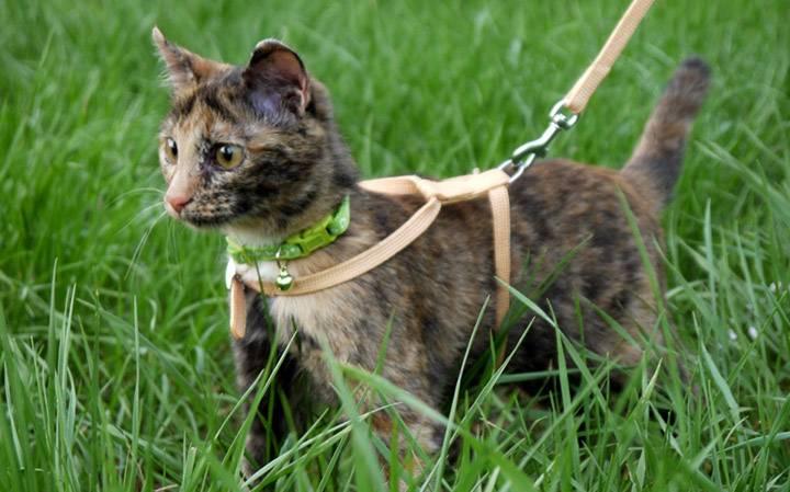 Как правильно на кошку одеть шлейку или поводок