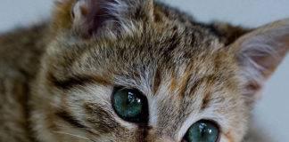 кот с красивыми глазами