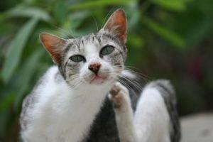Клещ у кошки как вытащить