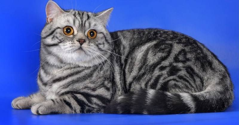 Вислоухие коты и кошки: британцы и шотландцы