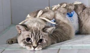 Можно ли кормить кошку перед стерилизацией мнение ветеринаров