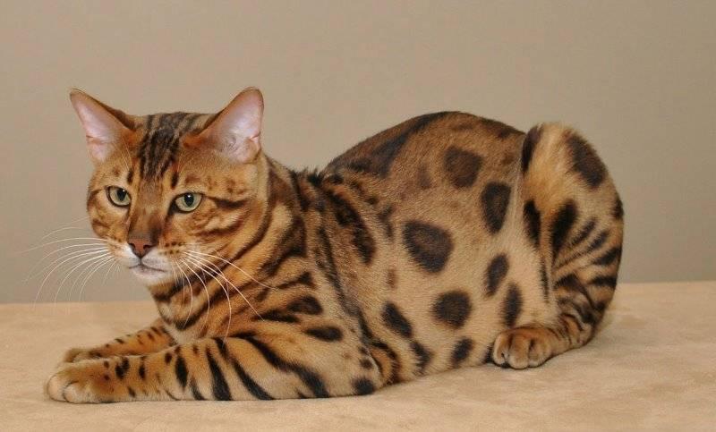 тигровый кот