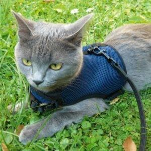 кот в шлейке-жилетке