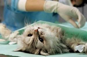 Стерилизовать кошку после течки
