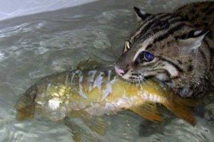 Кот рыболов. Среда обитания и образ жизни кота рыболова