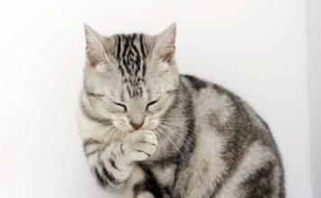 кашляет кошка