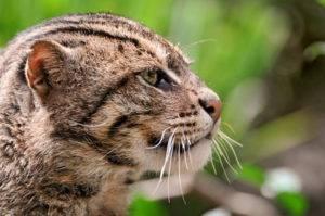 Рыбья кошка, кот-рыболов, виверровый кот.