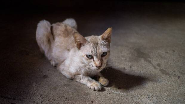 худая кошка