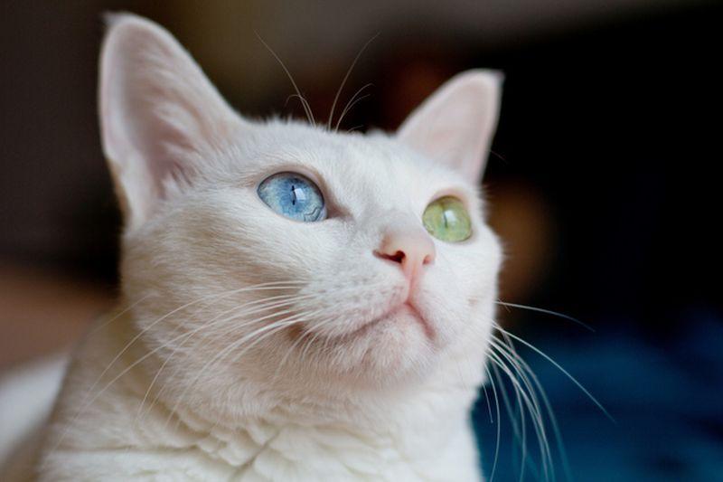 Полная гетерохромия у кошки
